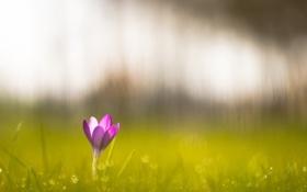 Обои зелень, цветок, трава, красота, крокусы, crocus