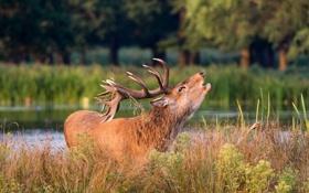 Картинка осень, морда, олень, рога, зов