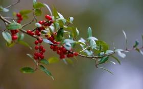 Картинка листья, макро, природа, ягоды, листва, ветка, ветвь
