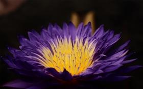 Картинка цветок, фиолетовый, макро, лилия
