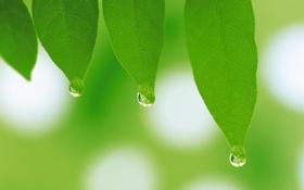 Картинка листья, весна, растения, капли, зелень, макро, листок