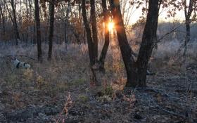 Картинка лес, солнце, собака, утро