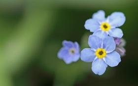Картинка зелень, макро, цветы, природа, растения, голубые, незабудки