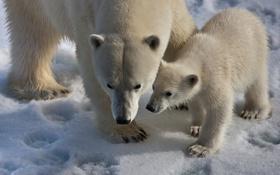 Обои снег, природа, медведи