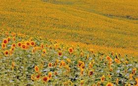 Обои поле, цветы, подсолнух