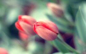 Обои цветок, роса, бутон, лепесток