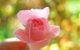 Картинка цветок, макро, розовая, роза, рука, нежная