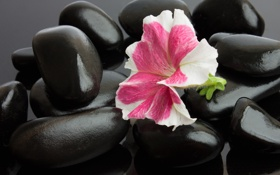 Обои цветок, flower, Spa stones, спа камешки