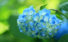 Обои цветок, синяя, цветение, кустарник, гортензия