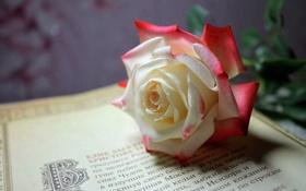Картинка роза, Цветок, страница, книжная