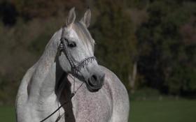 Картинка морда, серый, конь, лошадь, чёлка, (с) OliverSeitz