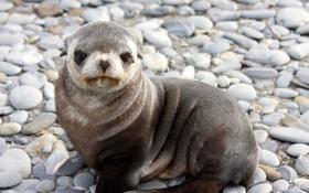 Обои тюлень, малыш, морской котик, детеныш