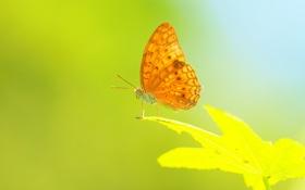 Обои растение, насекомое, крылья, лист, бабочка