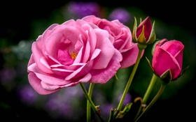 Картинка роза, лепестки, бутоны