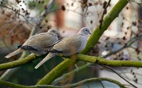 Обои ветки, природа, голуби