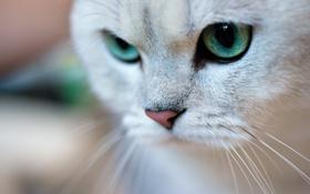Картинка кот, усы, макро, животное, зеленые глаза