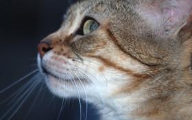 Картинка глаза, кот, взгляд, зеленые, профиль, уши