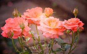 Картинка розы, лепестки, размытость, розовые, бутоны