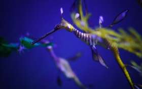 Обои природа, sea dragon, вода