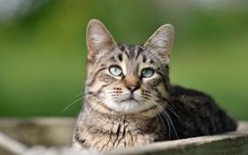 Обои кот, кошка, взгляд, морда