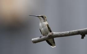 Картинка птица, ветка, колибри, палка