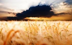 Обои пшеница, поле, облака, фото, пейзажи, облако, колосья