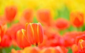 Обои природа, тюльпан, лепестки, луг