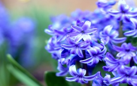 Обои весна, синий, размытость, Гиацинт, макро, цветы