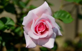 Обои макро, роза, бутон