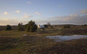 Обои поле, лошадь, вечер, лужи, кустарники
