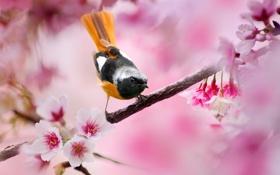 Обои Птица, весна, Горихвостка, розовые, дерево, размытие, вишня