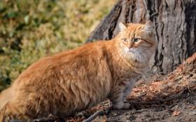 Обои пушистый, котэ, рыжий кот