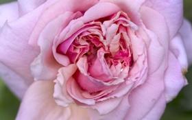 Обои макро, роса, розовая, роза, чайная роза, цветки