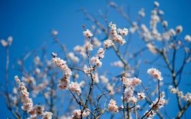 Картинка небо, цветы, ветки, дерево, весна, цветки, фруктовое