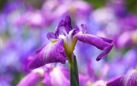 Обои цветы, цветение, ирис