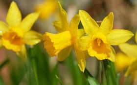 Картинка капли, макро, цветы, весна, желтые, нарциссы