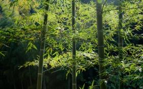 Обои лес, зелень, бамбук