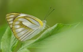Картинка лист, бабочка, растение, крылья, насекомое