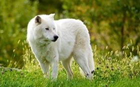 Картинка волк, Мелвильский островной волк, Арктический волк