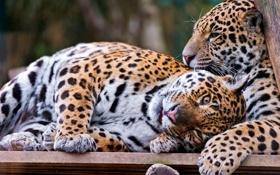 Обои отдых, хищники, ягуары