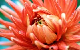 Картинка цветок, оранжевый, фотография, лепестки, оранжевая страсть