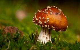 Картинка макро, гриб, мох, фокус, мухомор, боке
