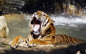 Картинка вода, тигр, лапы, пасть, зевает