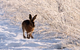 Картинка зима, природа, заяц