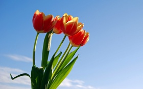 Обои листья, тюльпаны, букет, небо, цветы
