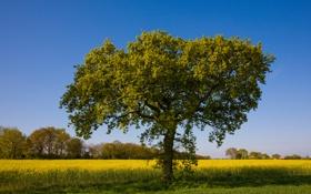 Картинка поле, природа, дерево, дуб, рапс