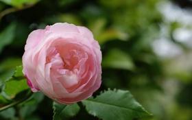 Обои зеленые, куст, зелень, розовая, лепестки, листья, роза