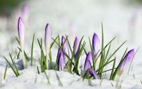 Обои макро, снег, цветы, crocus