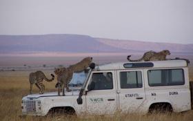 Картинка джип, нападение, автомобиль, гепарды