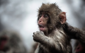 Картинка природа, обезьяна, взгляд